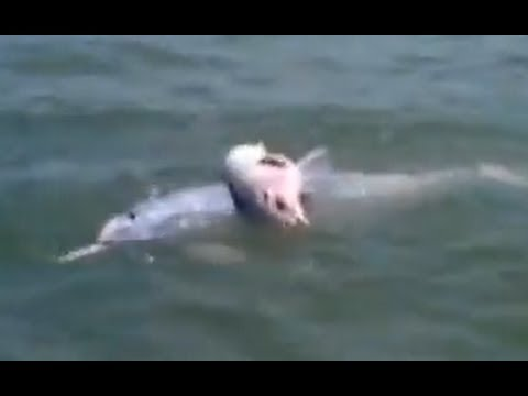 Dolphin Mourns Loss of Baby Calf in New Video